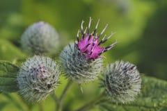 Bardana brilhante da flor em um close-up borrado do fundo imagens de stock royalty free