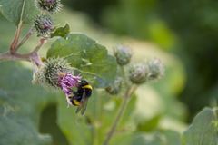 Bardana con un abejorro en él Fotos de archivo libres de regalías