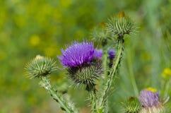 A bardana da planta floresceu Fotografia de Stock