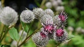 Bardana de florescência no campo do verão Arctium Vídeo de Hd vídeos de arquivo