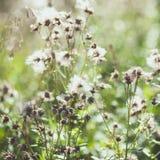 Bardana distorcido branca das flores selvagens com sementes do voo Fotografia de Stock Royalty Free