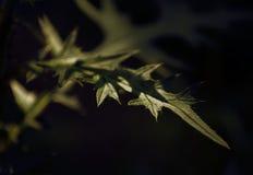 Bardana espinosa de la hoja Imagen de archivo