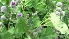 Bardana floreciente en el campo del verano Arctium Vídeo de Hd metrajes