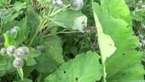 Bardana floreciente en el campo del verano Arctium Vídeo de Hd almacen de metraje de vídeo