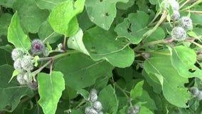 Bardana floreciente en el campo del verano Arctium Vídeo de Hd almacen de video