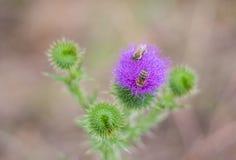 Bardana - lappa del Arctium - dos abejas Fotos de archivo