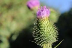 Bardana verde Imagen de archivo