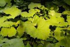 Bardana verde grande en un bosque Imagen de archivo libre de regalías