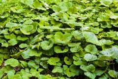 Bardana verde grande en un bosque Fotografía de archivo libre de regalías