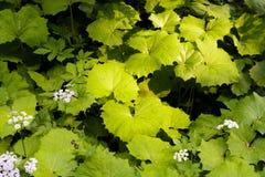 Bardana verde grande en un bosque Imagenes de archivo