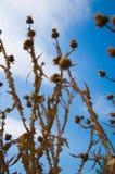 Bardanas y cielo azul   Foto de archivo libre de regalías