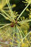 Bardfel på fänkålväxten Arkivfoto