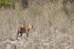 野生孟加拉老虎在Bardia国家公园,尼泊尔 免版税库存照片