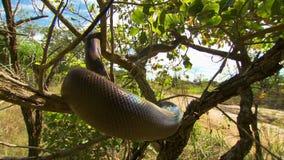 Bardick-Schlange ausgebreitet durch Baum stock footage