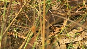 Bardick-Schlange, die durch Gras schleicht stock footage
