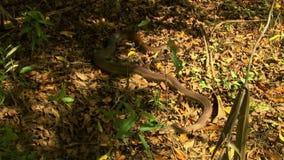 Bardick snake on forest floor stock video footage