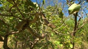 Bardick Snake In Tree. Handheld, medium close up shot of bardick snake in a tree stock video footage