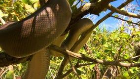 Bardick węża chodzenia puszka drzewo zbiory wideo