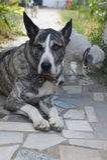 Bardino cross Canarian Presa dog  Royalty Free Stock Image