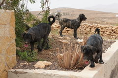 Bardino puppy dogs playing in the Canary Isles Stock Images