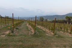 bardolino的葡萄园 库存照片