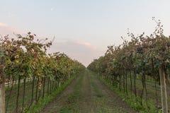 bardolino的葡萄园 免版税库存图片