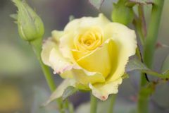 Yellow Roses on a bush in a garden. Bardovaya Grew Buds Rosa Buket Valentina Debutante Map Beautiful Beauty stock images