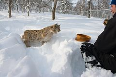 Man feeds eurasian lynx with meat in the snow in cold winter in Bardu, Norway. Stock Photography