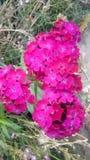 Bardzo ładna czerwieni menchii wiązka kwiaty Obraz Stock