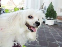 Bardzo śliczny bielu pies obrazy stock