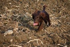 Bardzo śliczny Czekoladowy pracujący typ Cocker spaniel szczeniaka psa zwierzęcia domowego bieg Zdjęcia Stock