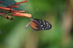 Bardzo Dosyć Złoty Zuleika Longwing motyl Obraz Stock