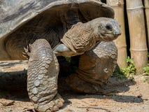 Bardzo duży żółwia odprowadzenie na piasku obraz stock