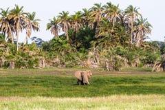 Bardzo duży słoń w bagnie Amboseli, Kenja Zdjęcie Stock