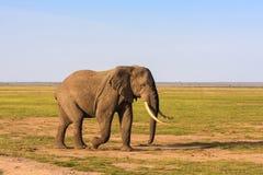 Bardzo duży słoń w sawannie Amboseli, Kenja Obraz Stock