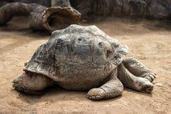 Bardzo duży i stary tortoise, Galapagos tortoise Zdjęcie Royalty Free