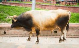 Bardzo Duży Silny Nepalski byk Zdjęcia Stock