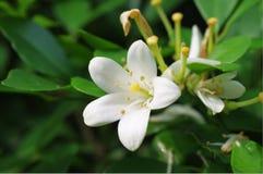 Bardzo fragrant kwiat Zdjęcie Royalty Free