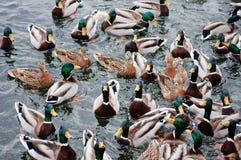 Bardzo głodne kaczki Obraz Royalty Free