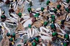Bardzo głodne kaczki Obrazy Stock