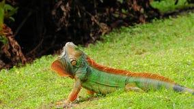 bardzo kolorowa iguana Fotografia Royalty Free
