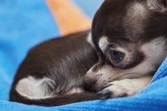 Bardzo śliczny chihuahua Zdjęcie Stock