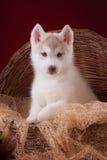 Bardzo śliczny szczeniaka husky w studiu z Fotografia Royalty Free