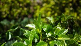 Bardzo mały, słodki szczeniak, - miniaturowego schnauzer obsiadanie w ogródzie na zieleni grassGreen ogrodowego krzaka z soczysty Zdjęcie Stock
