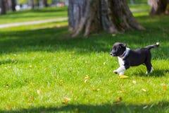 Bardzo mały szczeniak biega szczęśliwie z opadającą ucho synkliną ogród z zieloną trawą Zdjęcia Stock