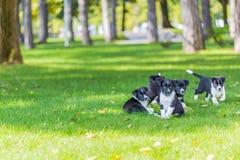 Bardzo mały szczeniak biega szczęśliwie z opadającą ucho synkliną ogród z zieloną trawą Fotografia Stock