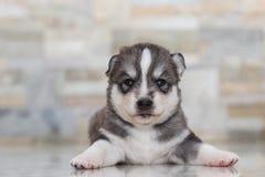 Bardzo małego szczeniaka Syberyjski husky Zdjęcie Stock