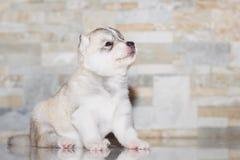 Bardzo małego szczeniaka Syberyjski husky Obrazy Royalty Free