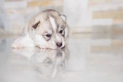 Bardzo małego szczeniaka Syberyjski husky Zdjęcia Royalty Free