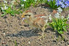 Bardzo mały kurczak 26 Zdjęcie Stock